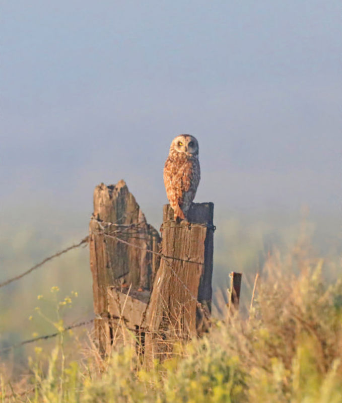 An owl rests on a fence post