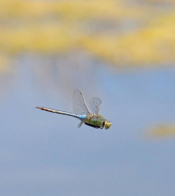 A dragonfly in mid-air