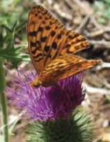 Butterfly on a thistle McKissick Meadows by by Shellie Goddard