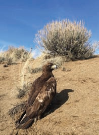 Golden Eagle by Beckwourth Pass by Karen Partlow