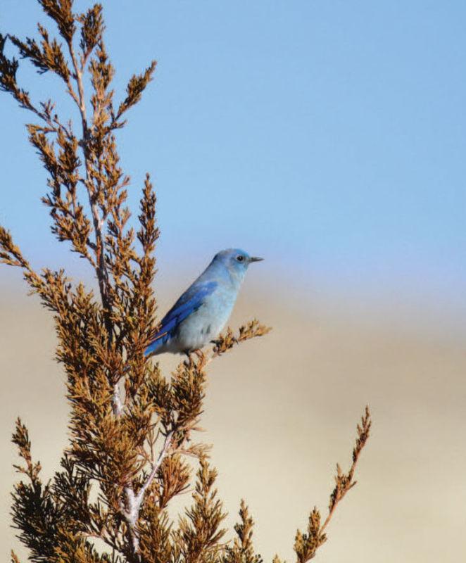 Bluebird in tree