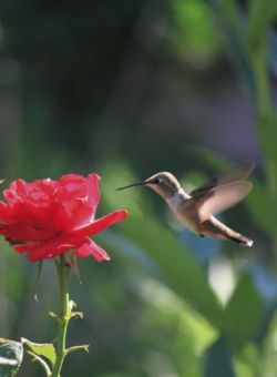 photograph of a Hummingbird and Red Rose, by Kathleen Smith