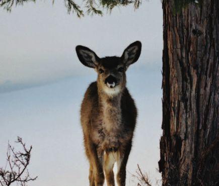 Snow Deer by Jim Maul